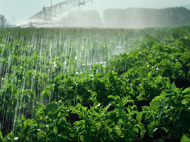 Kartoffelpflanzen werden zur Bewässerung beregnet