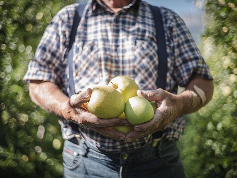 Hände halten gelbgrüne Äpfel