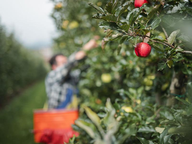 Zwei rote reife Äpfel am Baum