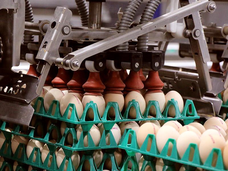 Eier werden auf eine Palette gesetzt