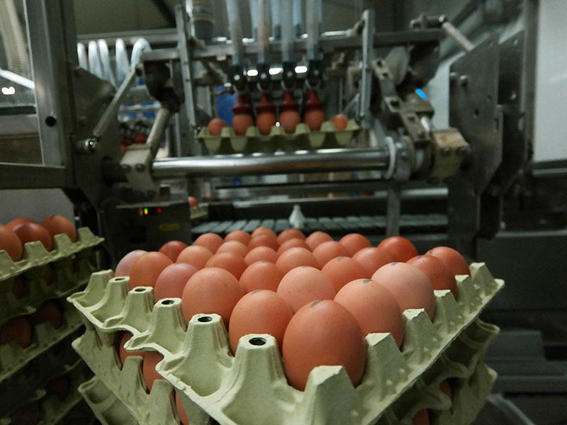 Eier werden bestempelt