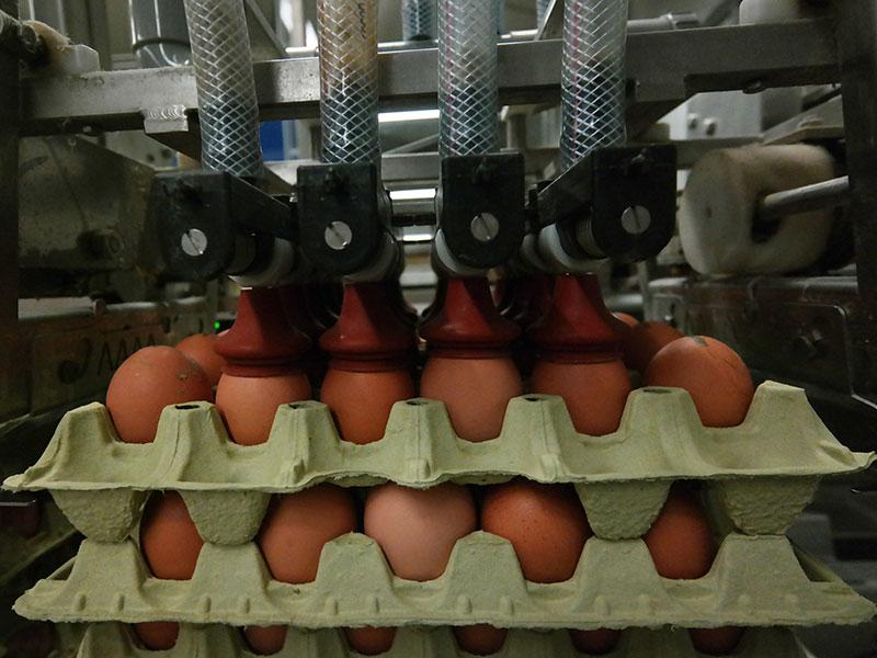 Eier werden sortiert