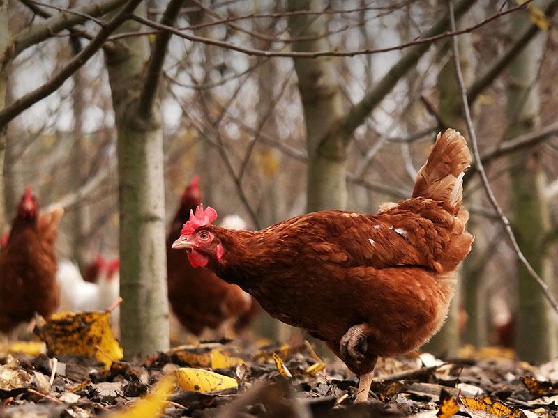 Eine Henne