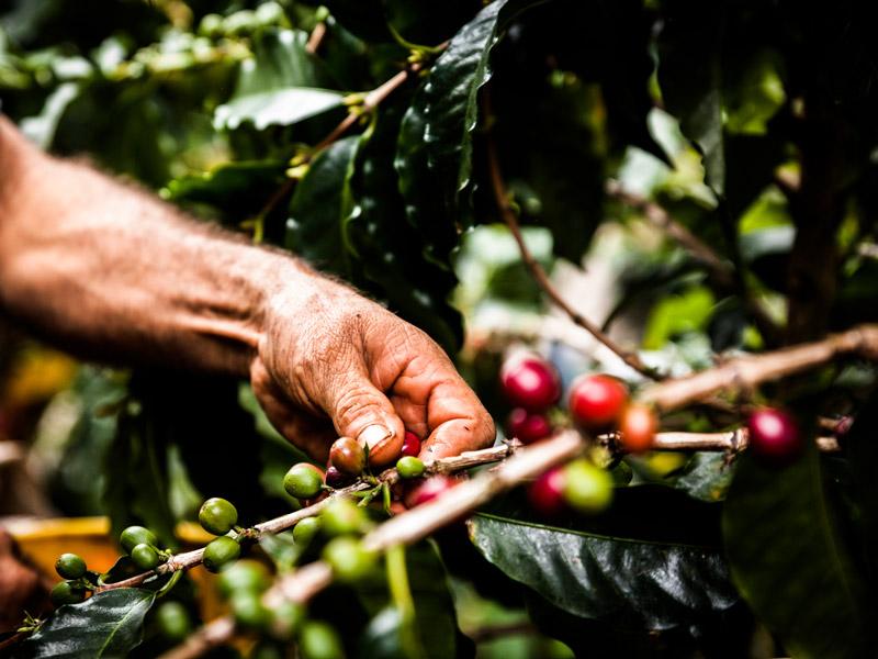 Ein Mann erntet die Kaffeebohnen mit seinen Händen.