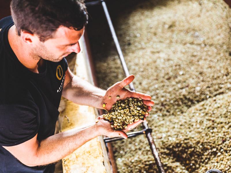 Ein Mann kontrolliert die rohen Kaffebohnen