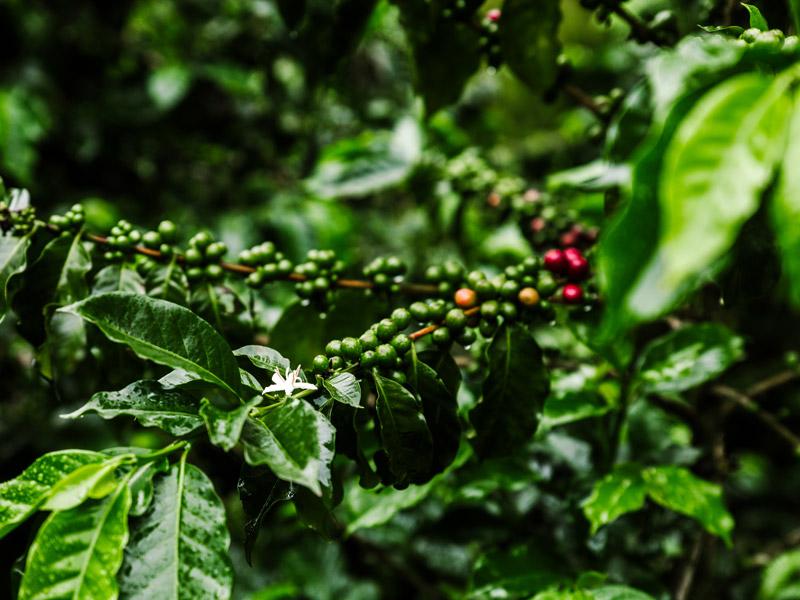 Rohekaffebohnen an einem Kaffebaum