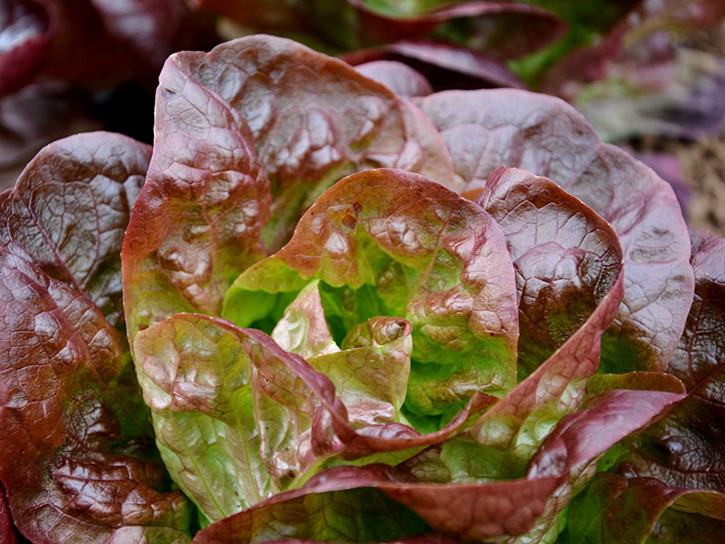 Roter Salanova-Kopfsalat