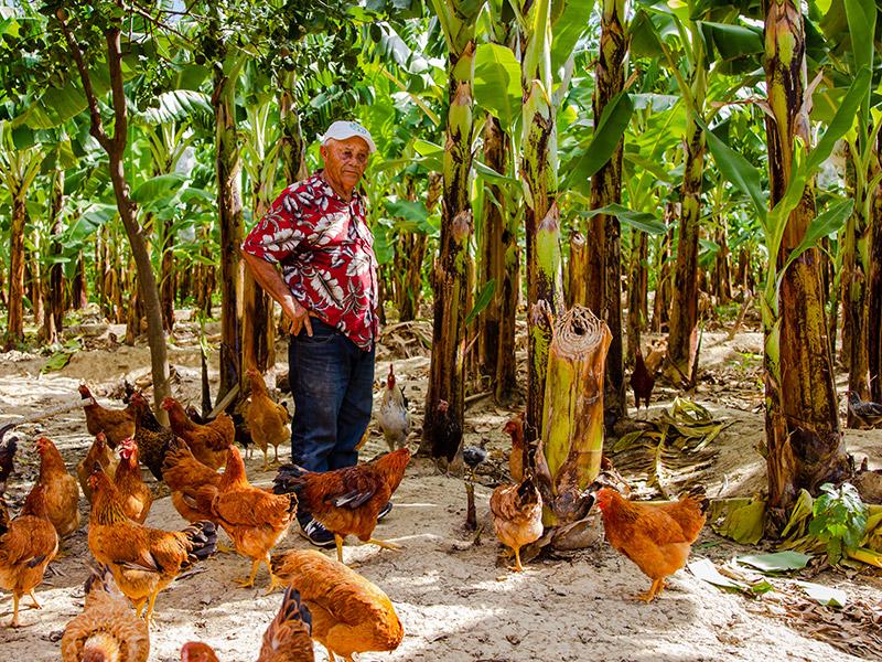 Mann unter Bananenstauden mit Hühnern
