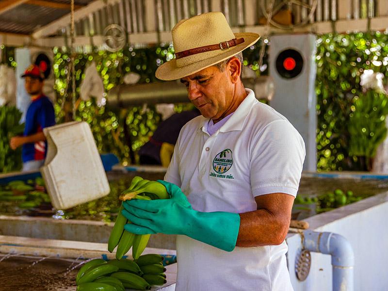 Mann bei Qualitätskontrolle der Bananen