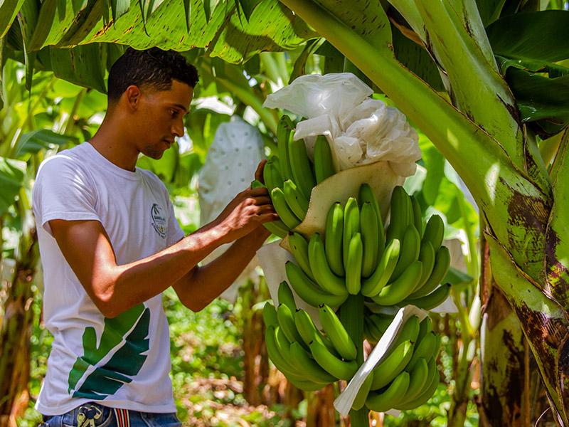 Mann an einer Bananenstaude