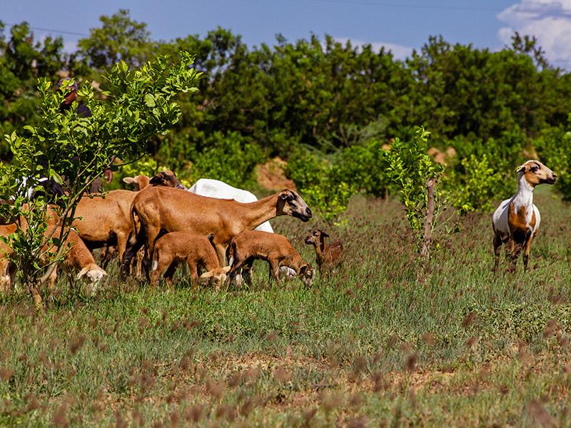 Kurzhaarschafe auf der Weide