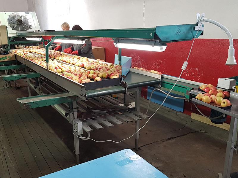 Mitarbeiter sortieren Äpfel