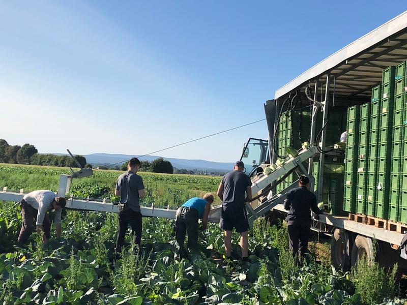 Personen auf einem Acker bei der Ernte des Gemüses