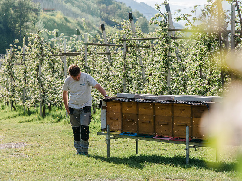 Ein Mann stützt sich auf einen belebten Bienenstand, welcher vor blühenden Obstbaumreihen steht