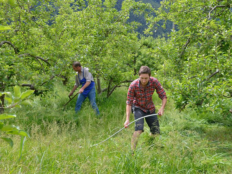 Zwei Männer mähen das Gras zwischen Obstbäumen mit einer Sense