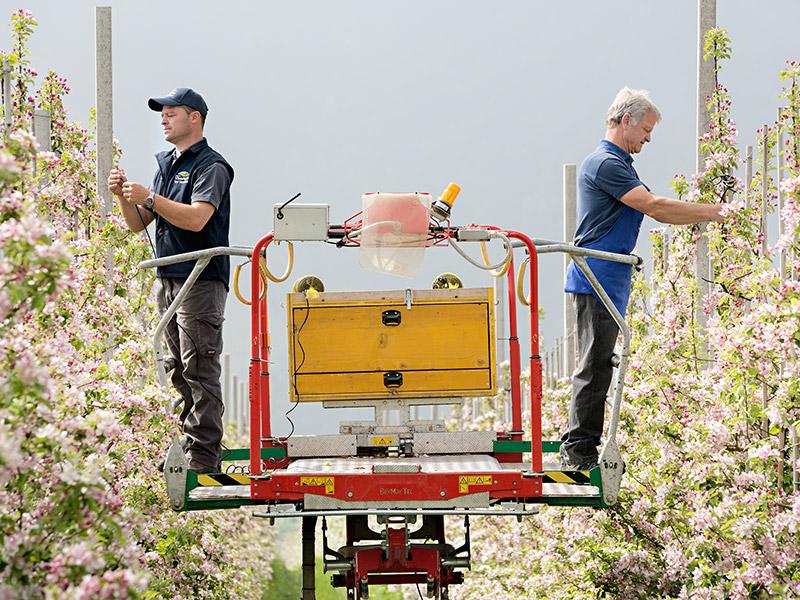 Zwei Mitarbeiter stehen auf einer Hebebühne zwischen zwei Obstbaumreihen und kontrollieren die Blüten