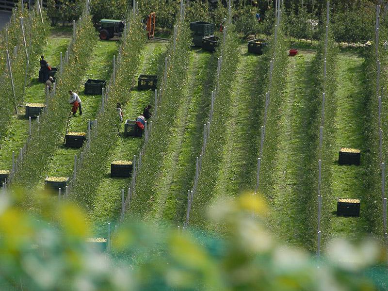Luftbild mehrerer Apfelbaumreihen, sechs Mitarbeiter und Mitarbeiterinnen sind bei der Ernte
