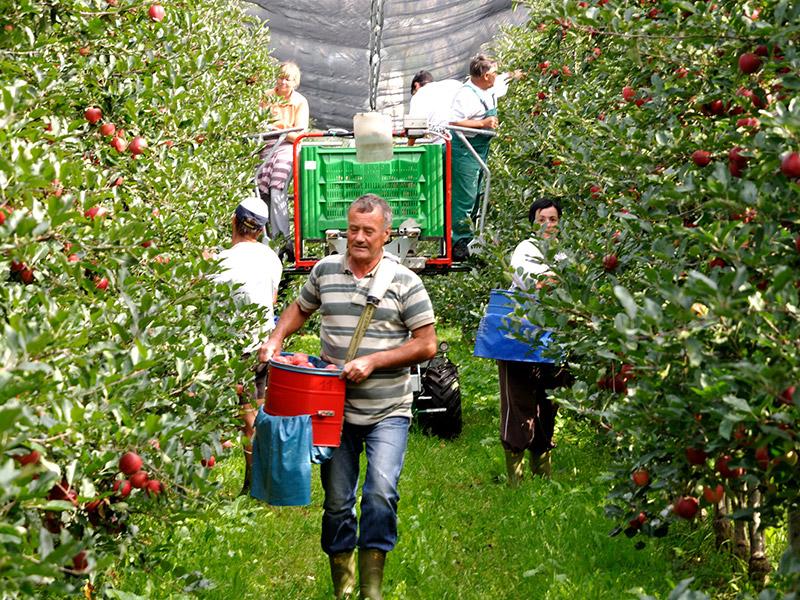 Sechs Mitarbeiter und Mitarbeiterinnen bei der Apfelernte, die Apfelplantage ist mit einer Plane überdacht