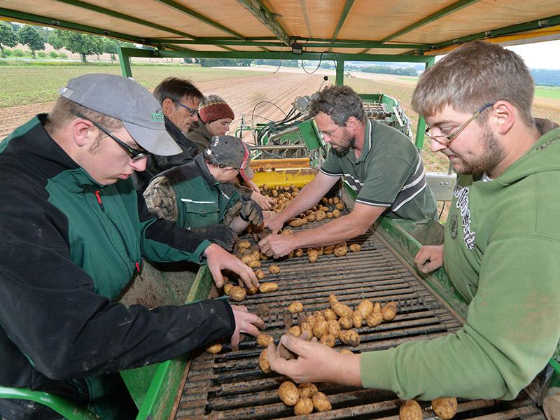 Mitarbeiter sortieren Kartoffeln auf einem Kartoffelroder