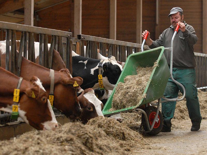 Ein Mitarbeiter füttert die Kühe