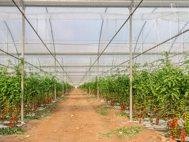 Lange Tomatenpflanzreihe im Gewächshaus