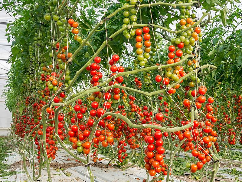 Tomatenreihe mit reifen und unreifen Tomaten