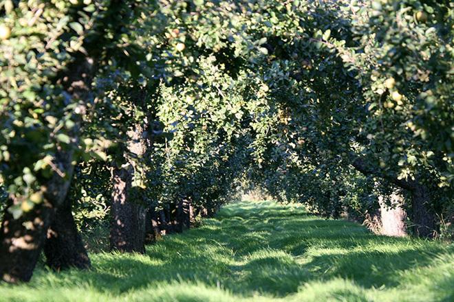 Grasweg zwischen zwei Apfelbaumreihen