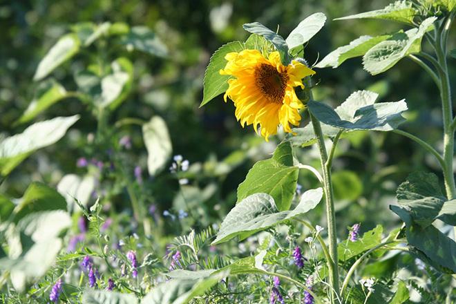 Sonnenblume in einem Blühstreifen