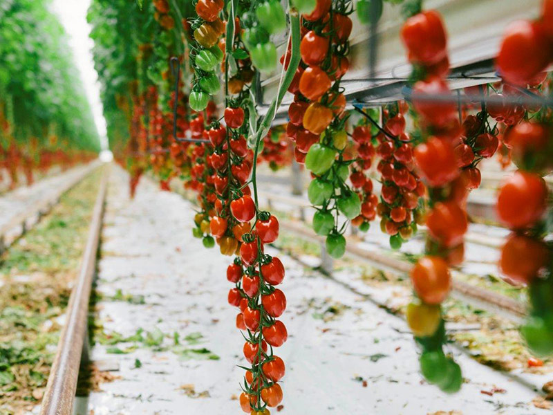 Nahaufnahme einer Tomatenrispe einer Tomatenpflanzreihe