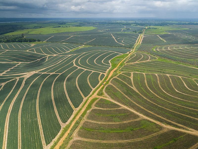 Luftbild auf eine Ananasplantage