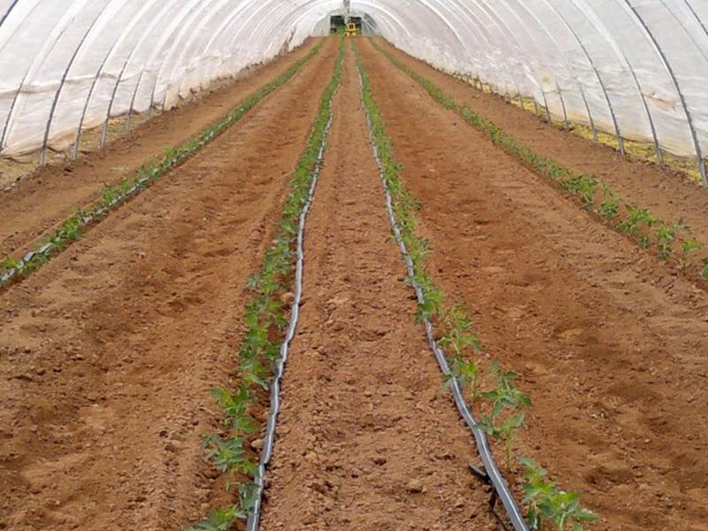 Pflanzreihe von Tomatenjungpflanzen im Folientunnel