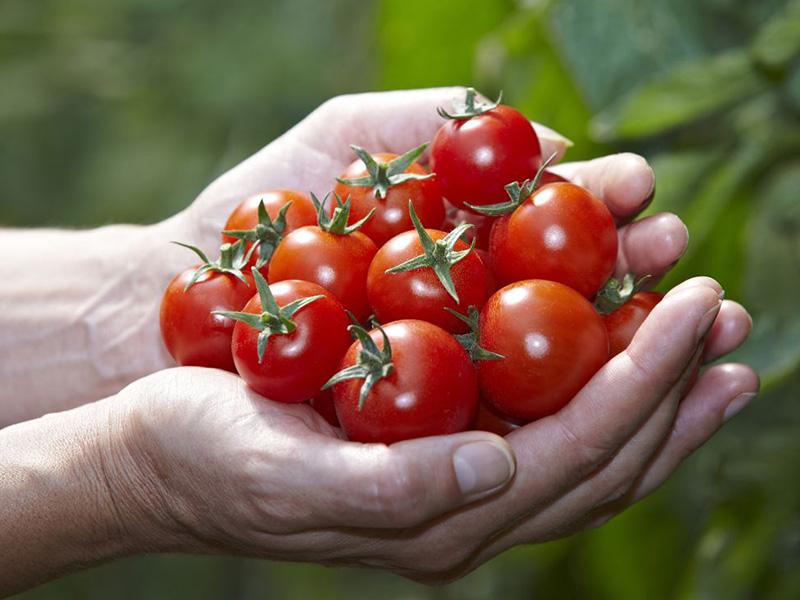 Zwei Hände halten mehrere reife Tomaten