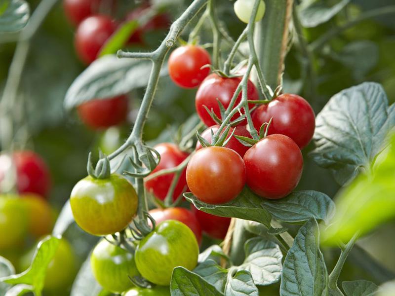 Nahaufnahme einer Tomatenrispe am Strauch