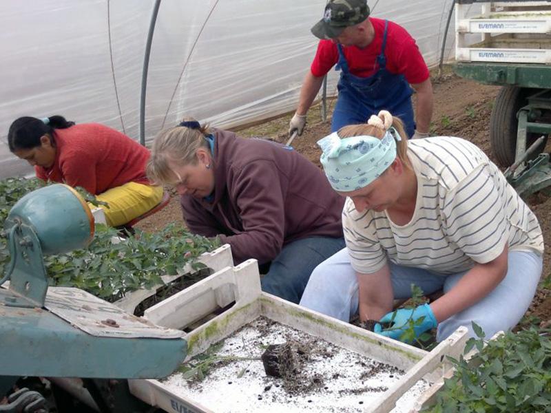 vier Mitarbeiter und Mitarbeiterinnen setzen junge Tomatenpflanzen in einem Gewächshaus