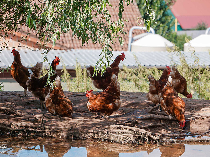 Hühner an einer Wasserstelle