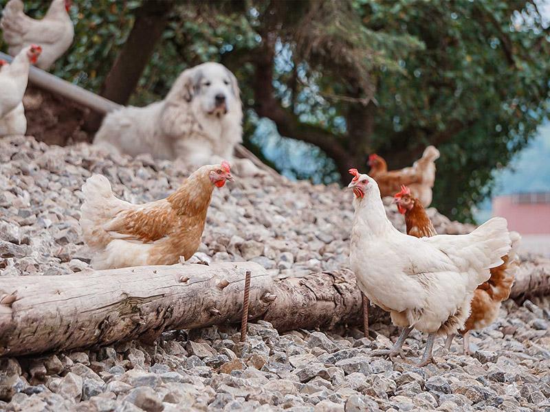 Die Hühner und ein Hund