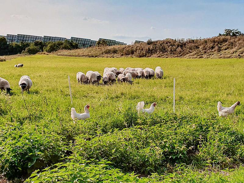 Hühner und Schafe