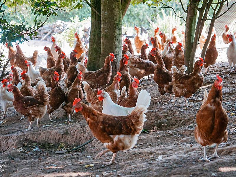 Hühner unter einem Baum