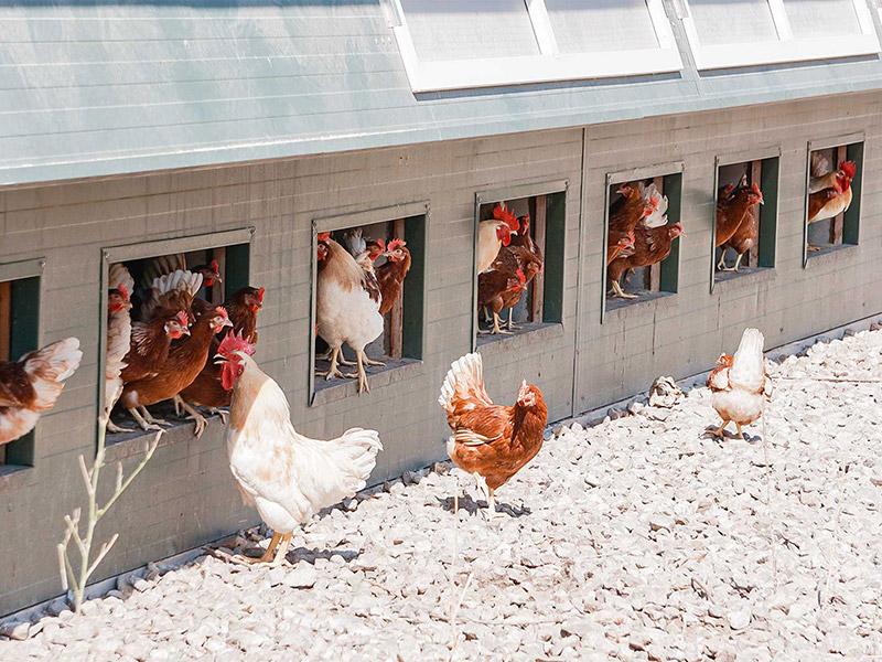 Hühner vor dem Stall