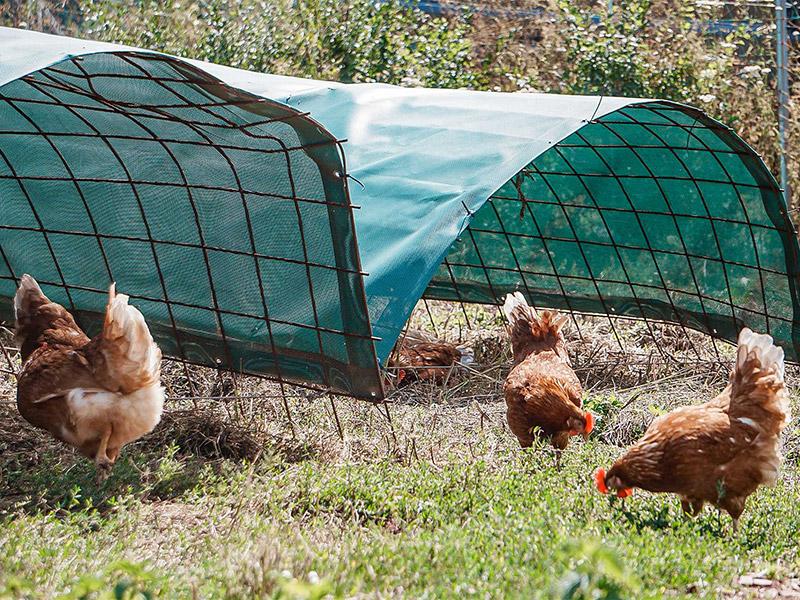Schattenplätze mit Hühnern
