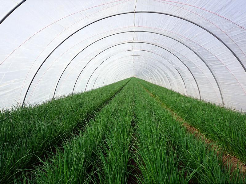 Reihenpflanzung von Schnittlauch im Tunnel