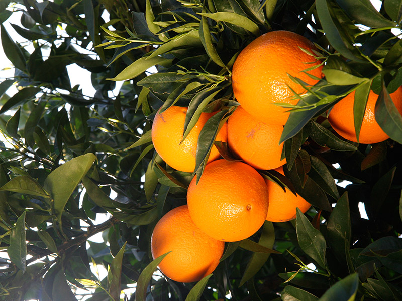 Reife Orangen am Baum