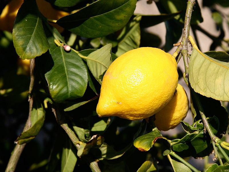 Eine reife Zitrone am Baum