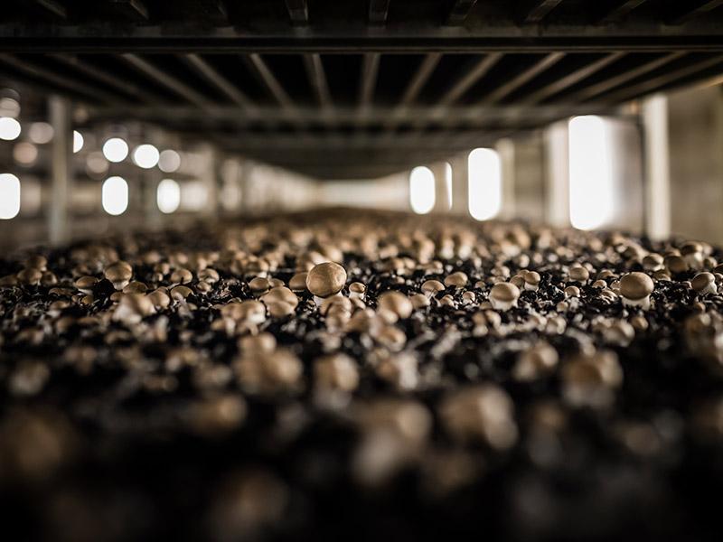 braune Champignons in Pilzzucht