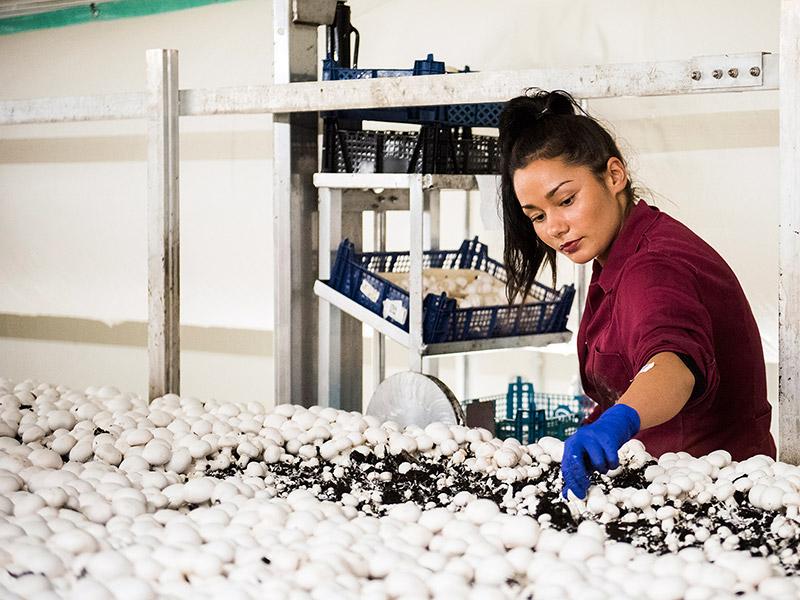 Mitarbeiterin erntet weiße Champignons in der Pilzzuchthalle