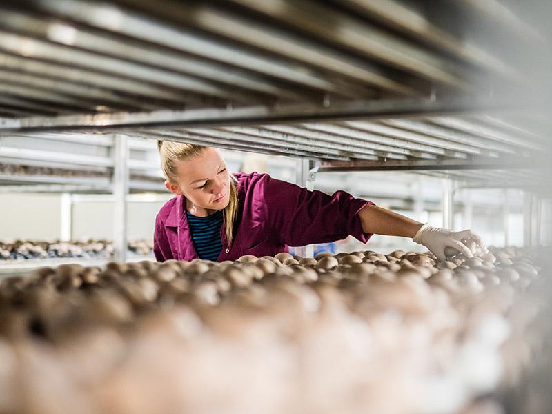 Mitarbeiterin erntet braune Champignons in der Pilzzuchthalle