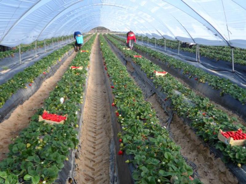Mitarbeiter ernten unter einem Folientunnel reife Erdbeeren in Holzkisten