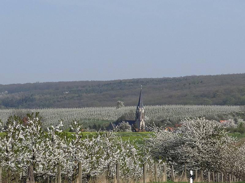 Kleinfahner Süßkirschenblüte
