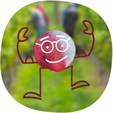 Theo die Traube vor Weinreben