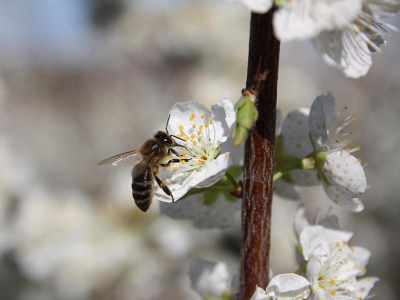 Nahaufnahme einer Biene auf einer weißen Obstbaumblüte